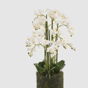 ORCHIDEE PHAL.REAL C / PLAAT X12