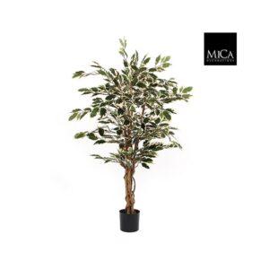 Ficus groen bont in plasticpot H110XD70CM