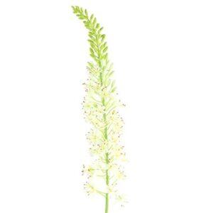 Lythrum S white